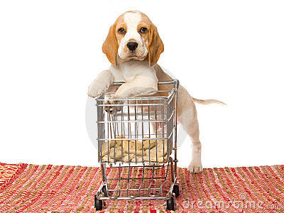Beagle puppy leaning on mini shopping cart
