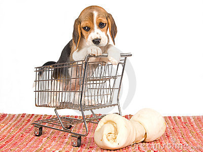 Beagle puppy in mini shopping cart