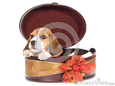Beagle puppy in round gift box