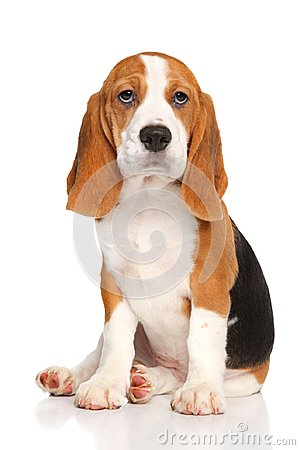 Free Beagle Puppy Sits Royalty Free Stock Image - 101662776