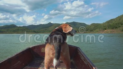 Beagle que calma en el barco con sus oídos del vuelo metrajes