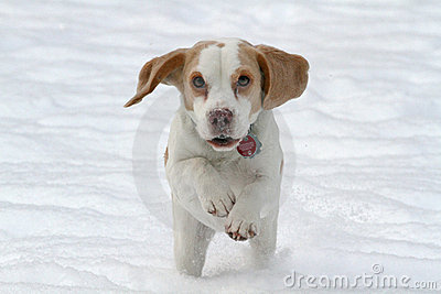 Beagle running in snow
