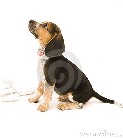 Beagle Sitting Down