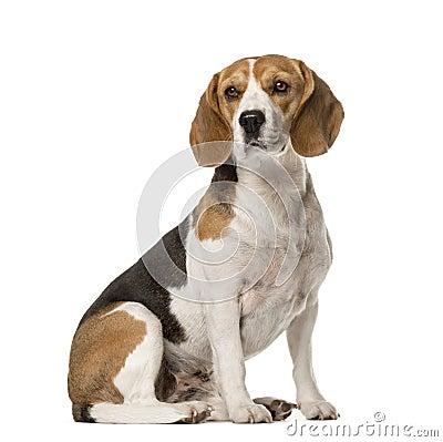 Free Beagle Sitting , Isolated Stock Photos - 89215333