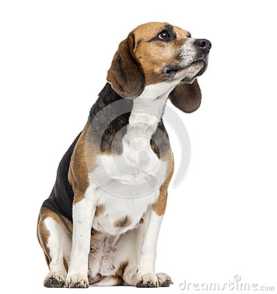 Free Beagle Sitting, Looking Away, Isolated Stock Images - 32494724