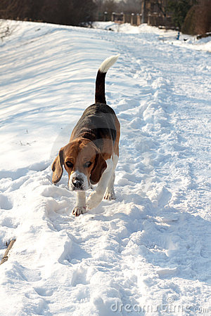 Beagle in snow