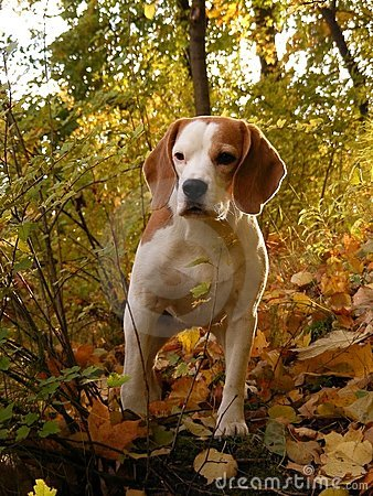 Beagle standing in autumn forest