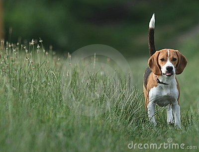 Beagle / Tail Highly Risen