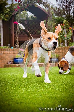 Free Beagles Having Fun Running Royalty Free Stock Image - 86972106