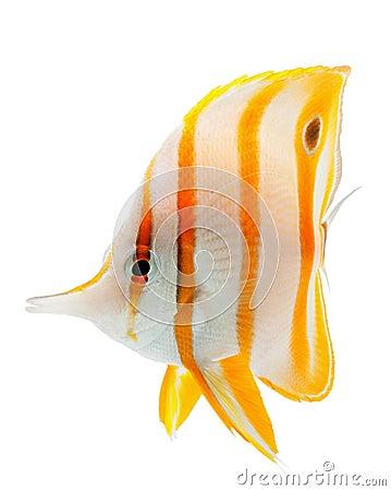 Free Beak Coralfish, Copperband Butterflyfish, Isolated Stock Photo - 21808370