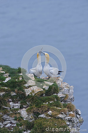 Beak fencing pair of Northern Gannets