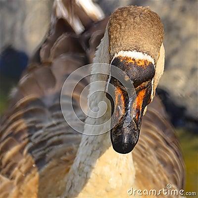 Beak of a great gander
