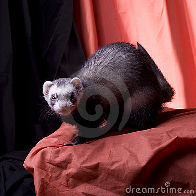 Bean the Ferret