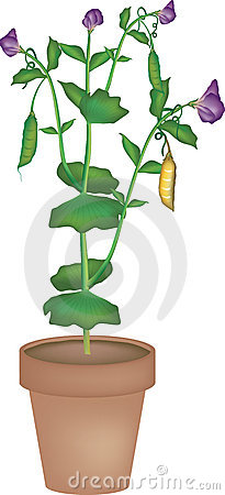 Bean Plant Stock Illustrations Bean Plant Drawing