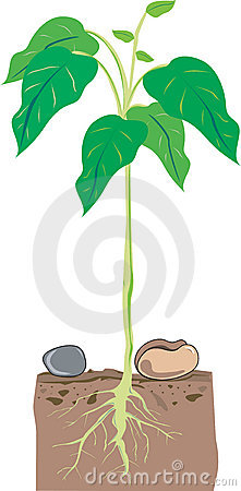 Bean Plant Stock Photo Bean Plant Drawing