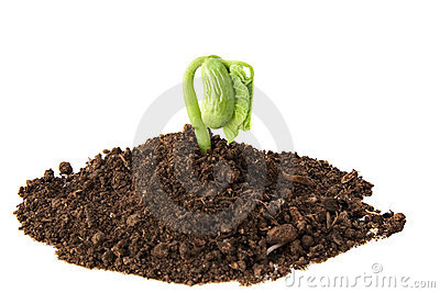 Bean plant growing