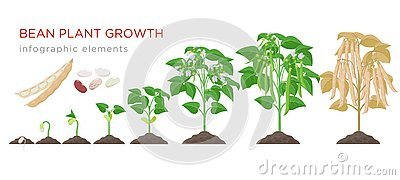 Bean plant growth stages infographic elements in flat design. Planting process of beans from seeds sprout to ripe Vector Illustration
