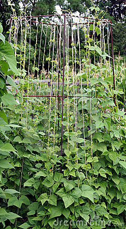 Bean plants on the garden bed