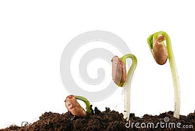 Bean seed germination