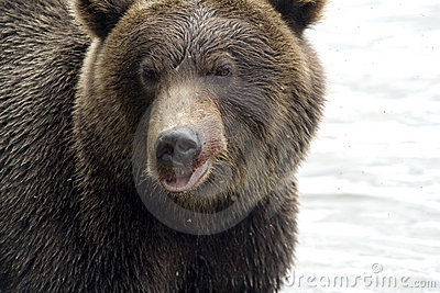 Bear. Close up