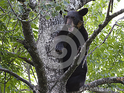 Bear Cub Crying in a Tree