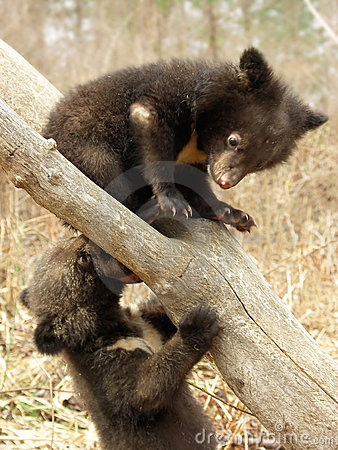 Free Bear Cubs Royalty Free Stock Images - 5722419
