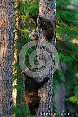 Bear Cubs Climb Up A Tree Royalty Free Stock Photos ...