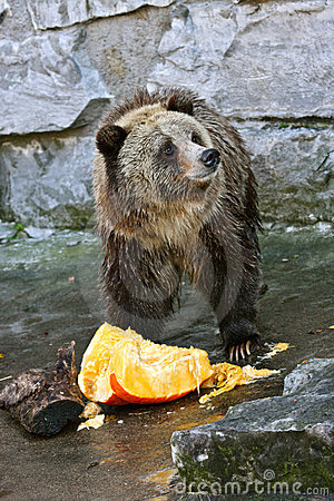 Bear Eating a Pumpkin