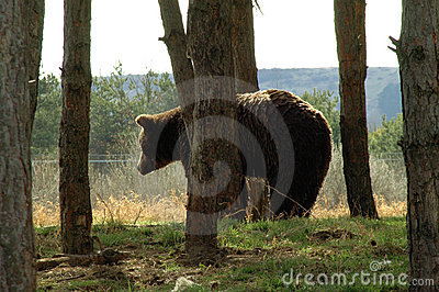 Bear In The Edge Of Forest Stock Photography - Image: 15115622