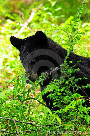Free Bear Finding His Snack In The Leaves Stock Photography - 5458782
