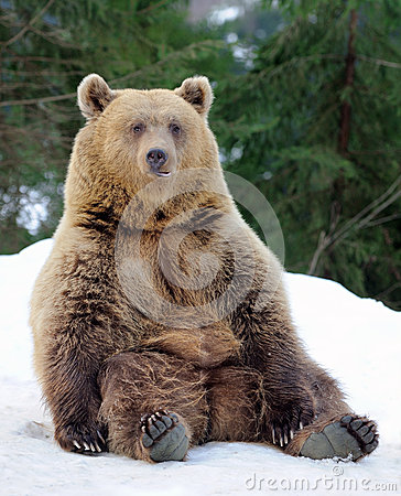 Free Bear In Winter Stock Photography - 37506342