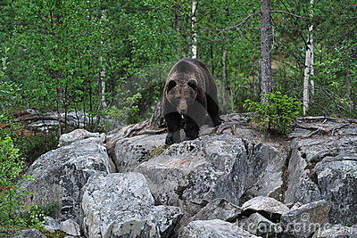 Bear on the rocks