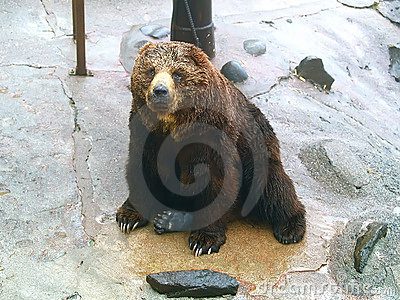Bear sitting on rock