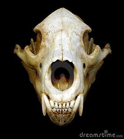 bear skull royalty free stock photography image 1658927