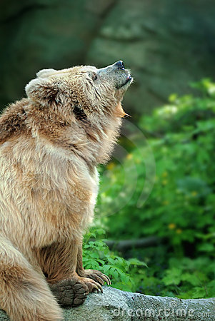 Bear on a stone