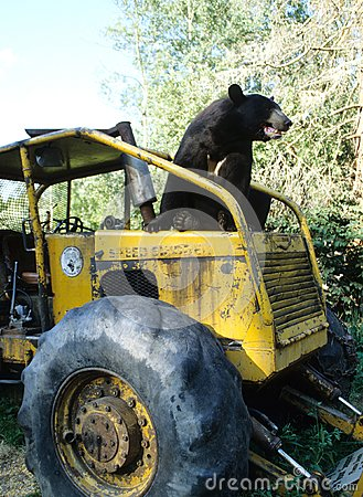 Bear on a Tractor