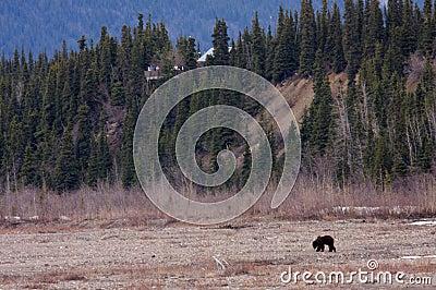 Bear Viewing in Denali National Park