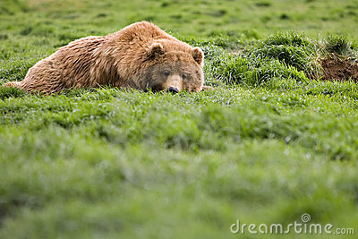 Bear watching from grass