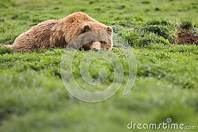 Bear watching from grass