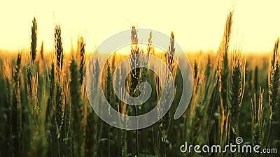 Bearbeitung des Weizens stock footage
