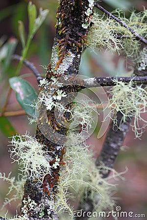 Beard lichen on tree