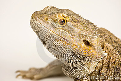 Bearded Agama,Dragon