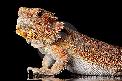Bearded Agama lizard