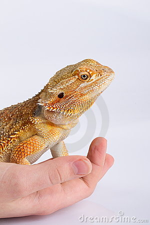 Bearded Agama lizard on hand