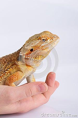Bearded Agama lizard on hand