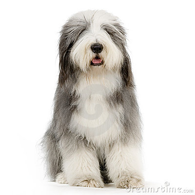 Free Bearded Collie Stock Photo - 2330390