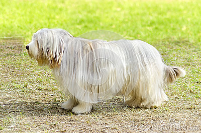 ... Bearded Collie standing on the grass. Beardie dogs have a long coat Bearded Collie Coat