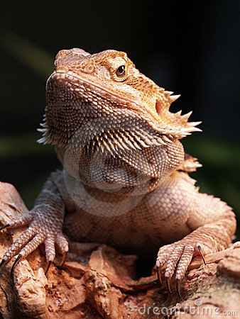 Free Bearded Dragon Stock Images - 126124