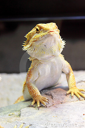 Free Bearded Dragon Royalty Free Stock Photography - 23464807