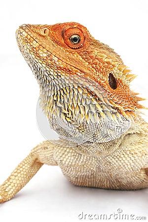 Free Bearded Dragon Stock Photos - 513963